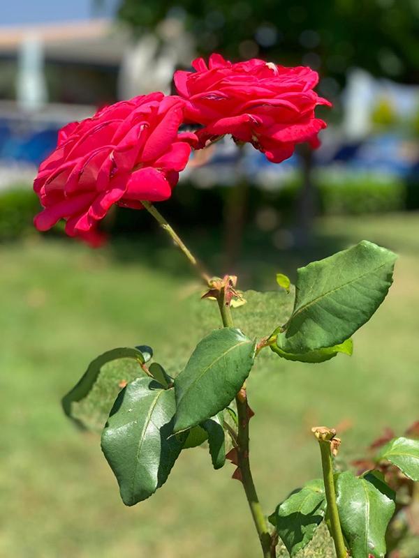 Даже горделивые царственные розы  не удержались- и на их листьях  мы заметили маленькие слёзки-росинки. Расставаться очень непросто!