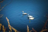 В Черногорию впервые прилетели на зимовку лебеди из Сибири